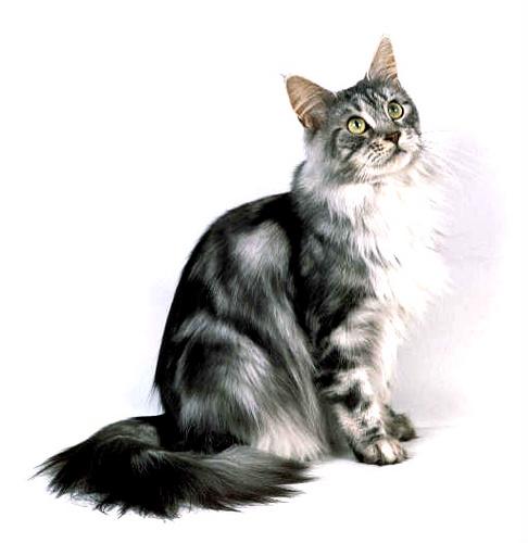 Cat Ear Site Forever Com